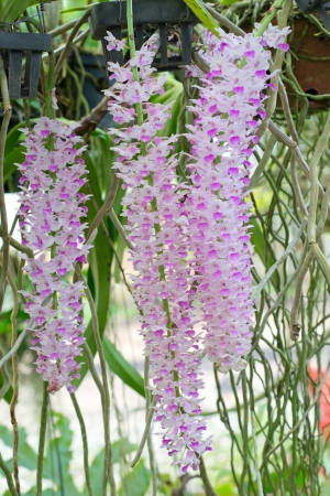 Rhynchostylis retusa orchid  Stock Photo - 14478864
