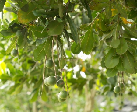 macadamia nuts hanging on tree photo