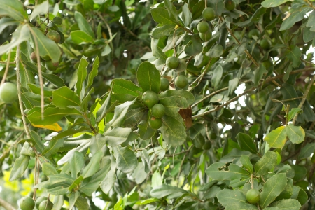 nueces de macadamia que cuelgan en el �rbol photo