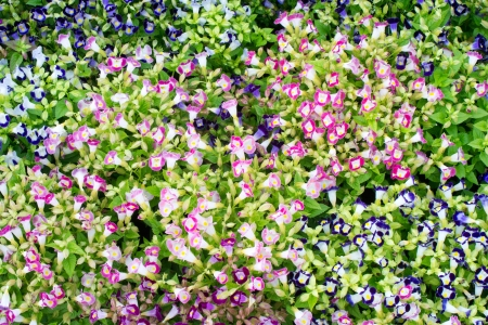 Torenia flower   photo