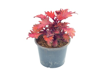 Coleus in a pot isolated on white background Stock Photo - 14646588