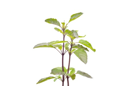 tulasi: Holy Basil isolated on white background  Stock Photo