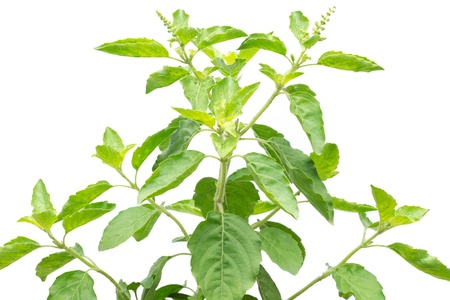 Holy Basil isolated on white background  Stock Photo