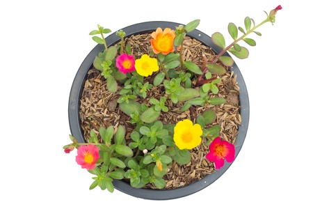 Portulaca flower in pot  isolated on white background    photo