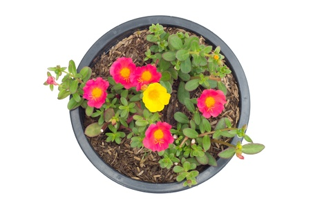 Portulaca flower in pot  isolated on white background