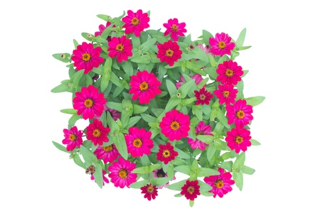 Blooming Zinnias isolated on white background   photo