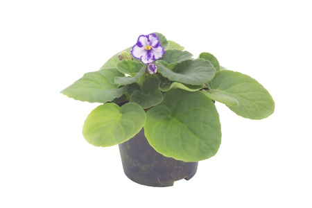 african violet in flowerpot isolated on white background photo