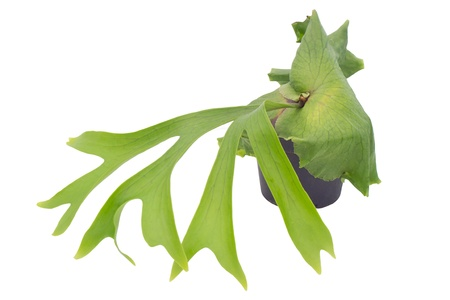staghorn Fern  isolated on white background