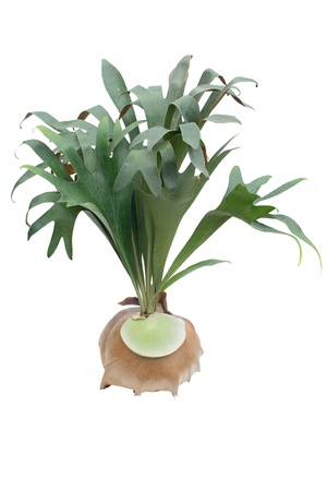 staghorn Fern  isolated on white background   Stock Photo - 14752616