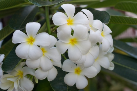 Frangipani with leaves in background photo