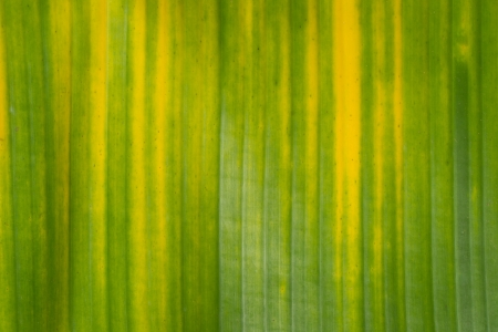 Yellow and green banana background photo