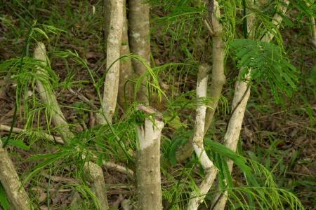 pennata: Acacia Pennata on tree