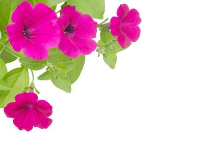 petunia isolated on white background photo