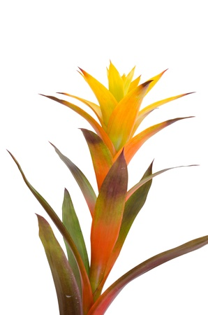 bromeliad: Bromeliad  isolated on white background Stock Photo