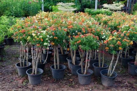 noxious: Lantana in flower pot for sale in flower market Stock Photo