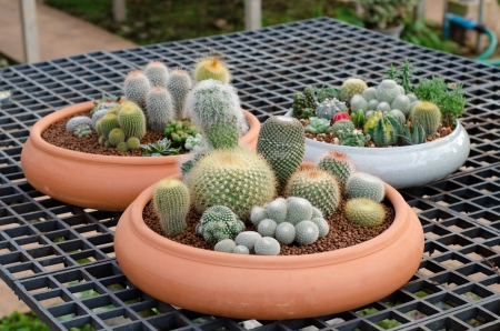 cactus in pot photo