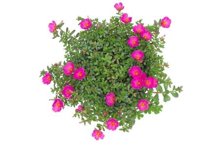 vis�o: Portulaca flor isolado no fundo branco Banco de Imagens