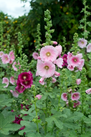hollyhock flower  photo