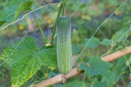 Cucumbers growing on a vine in garden photo