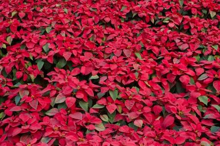 Red Poinsettia flower  christmas star    Standard-Bild