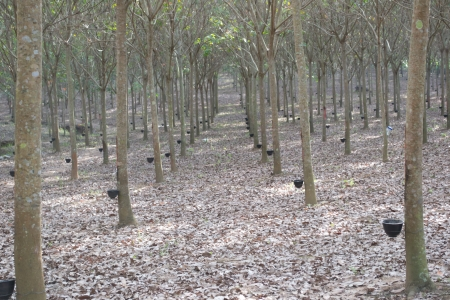 Para rubber tree Stock Photo - 17313280