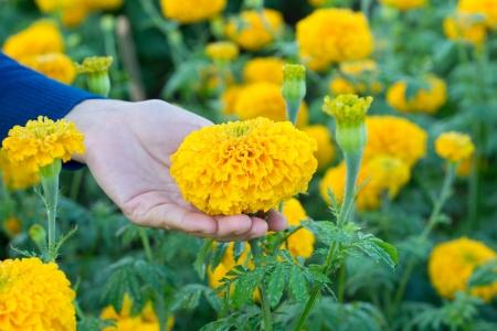 feminine hand holding marigold Stock Photo - 17313219