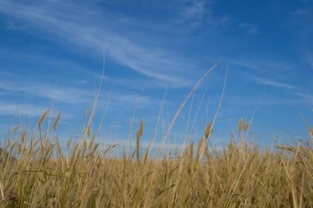 scrub grass: grass and blue sky