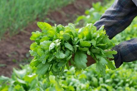 Shungiku, also known as tong hao, or edible chrysanthemum