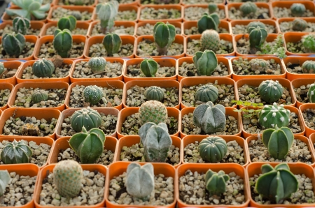 cactus seedling  photo