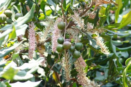 macadamia nuts and flower on tree