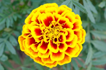 Close up of french marigold photo