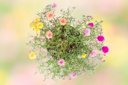 Portulaca flower Stock Photo - 18947788