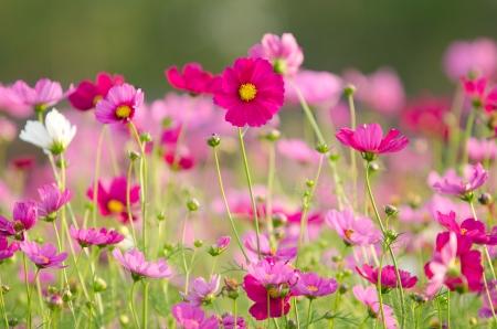 Cosmos bloemen