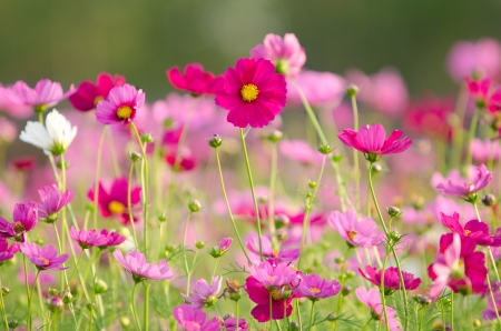 Cosmos flowers Stock Photo - 18947958