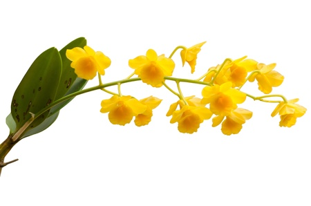 Fried egg orchid isolated on white background photo