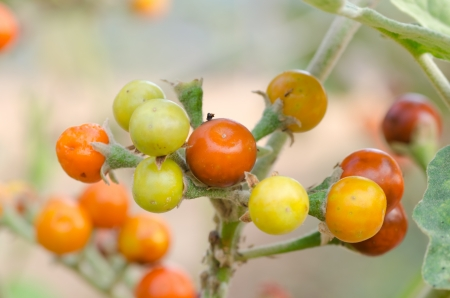 expectorant: Solanum sanitwongsei, Herb for treatment cough and sore throat