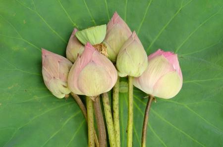 nelumbo: Nelumbo nucifera on lotus leaf background