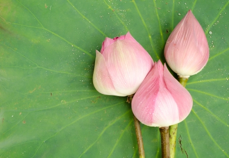 Nelumbo nucifera on lotus leaf background photo