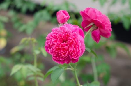 Damask rose