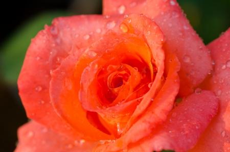 Orange rose closeup photo