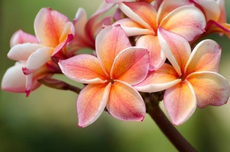 hawaiian flower: frangipani