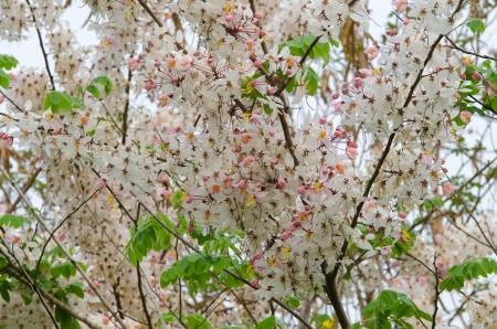analogous: Cassia bakeriana