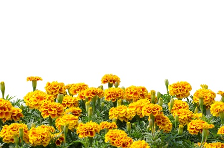 French Marigolds blooming isolated on white background photo