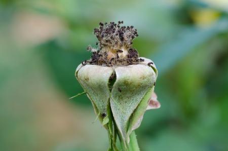 dry pollen roses on tree photo