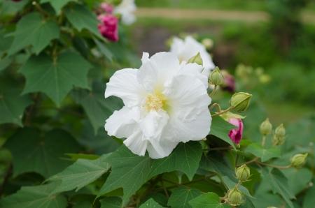 rosemallow: Confederate Rosa fiore di ibisco mutabilis Archivio Fotografico