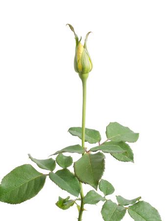 rose bud: bocciolo di rosa isolato su sfondo bianco