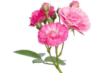 Fairy Rose isolated on white background
