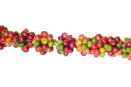 Coffee beans on trees isolated on white background photo
