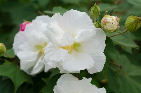 rosemallow: Confederate Rose Flower ( hibiscus mutabilis)