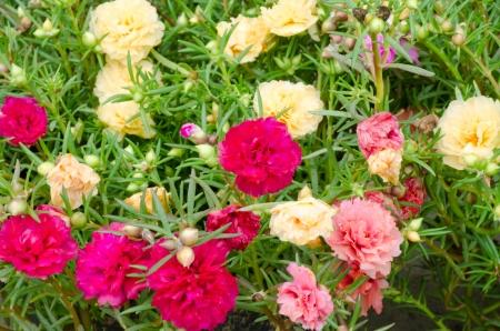 Portulaca flower 版權商用圖片